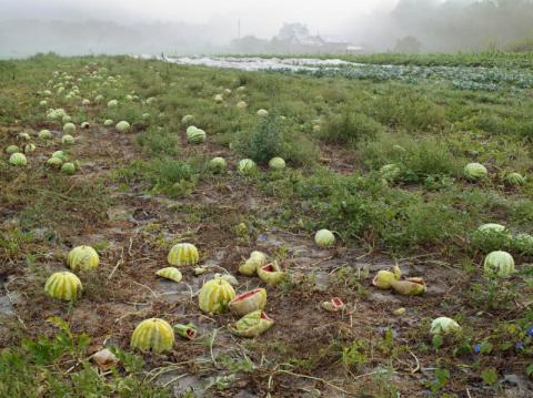 Watermelon Patch, Twin Oaks Community, Virginia